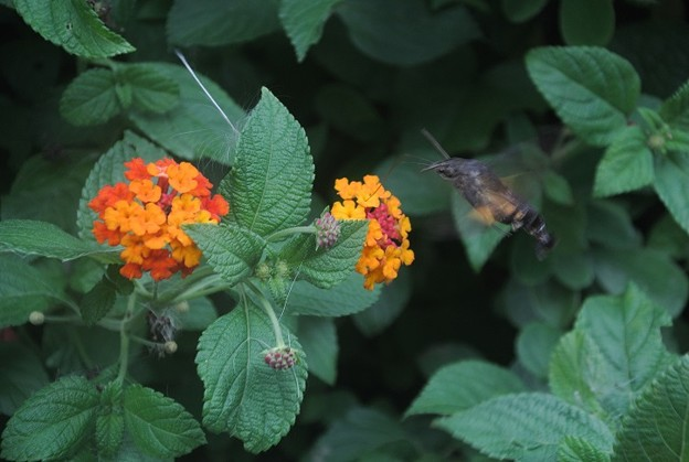 ランタナの蜜をホバリングしながら吸うホウジャクスズメガ
