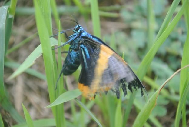 メタリックな蛾のキオビエダシャク