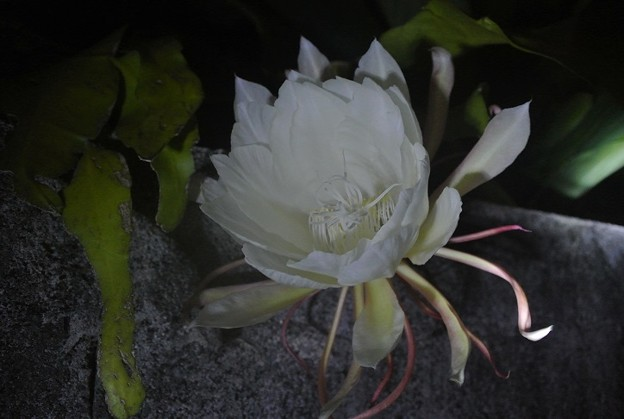 今年も月下美人の開花に翻弄される