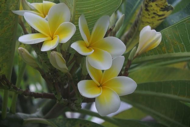 黄色と白色パターンのプルメリア