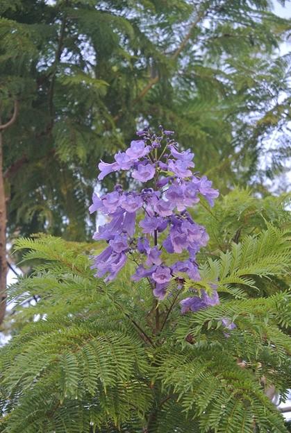 三分咲きのジャカランダ