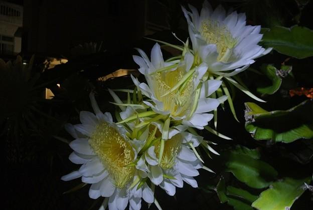 ギュウギュウ咲きのドラゴンフルーツの花