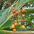 月桃の実が熟れて、秋の気配?