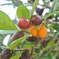 Photos: クルチの実の完熟の果てに