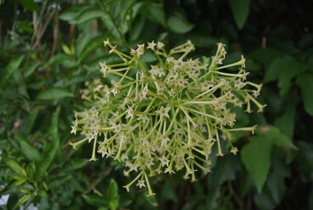 密集して咲くヤコウボクの花
