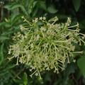 Photos: 密集して咲くヤコウボクの花