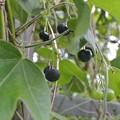 Photos: ハマサルトリイバラの実の完熟