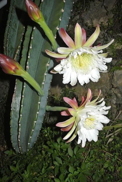 ハシラサボテンの花
