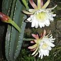 Photos: ハシラサボテンの花