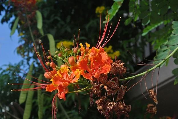 オオゴチョウの花