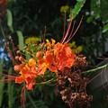 Photos: オオゴチョウの花