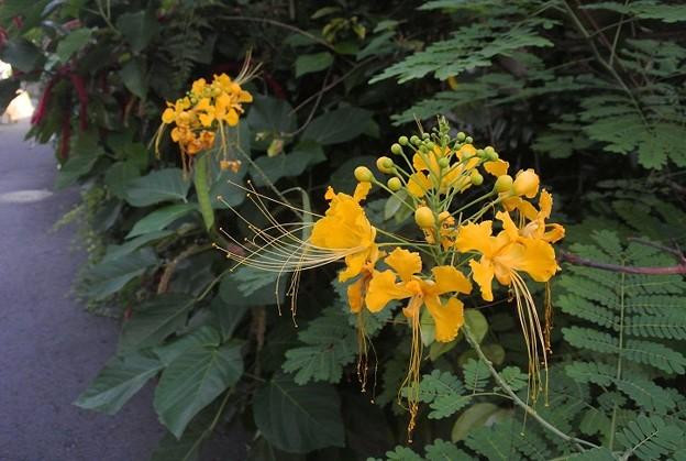 オオゴチョウの黄花種