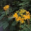 Photos: オオゴチョウの黄花種