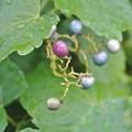 色付いたノブドウの実