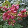 タイワンモクゲンジの花と実