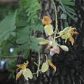 タマリンドの花