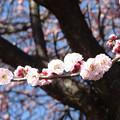 Photos: 梅咲く