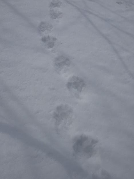 クマの足跡
