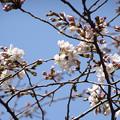 Photos: 本番桜が咲き出した
