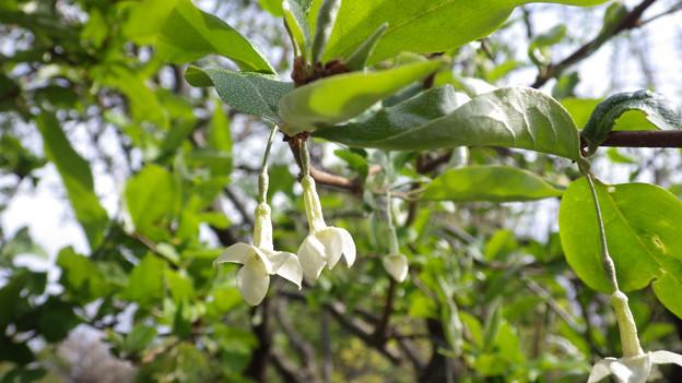 ナツグミの花