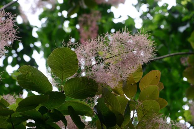 スモークツリー(はぐまの木)