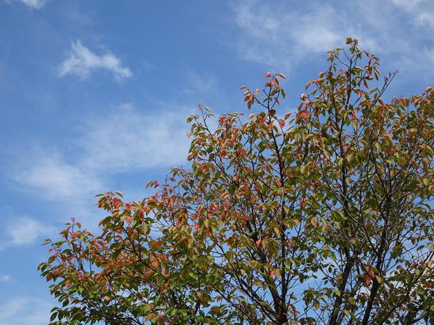 サクラも紅葉