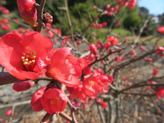 赤い木瓜の花満開よ