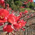 Photos: 赤い木瓜の花満開よ