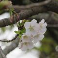 Photos: 庭のオオシマサクラ開花です