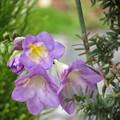 Photos: 紫のフリージア