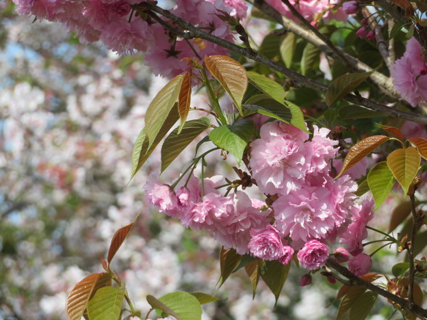 八重桜とサクラ