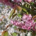 Photos: 八重桜とサクラ