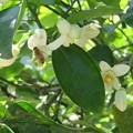 Photos: ミツバチとミカンの花