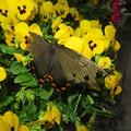 翅の切れたアゲハチョウを見つけました