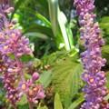 可愛い小花のヤブラン