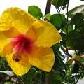 ジャンボハイビスカスの花
