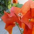 Photos: オレンジ色のブーゲンビリア