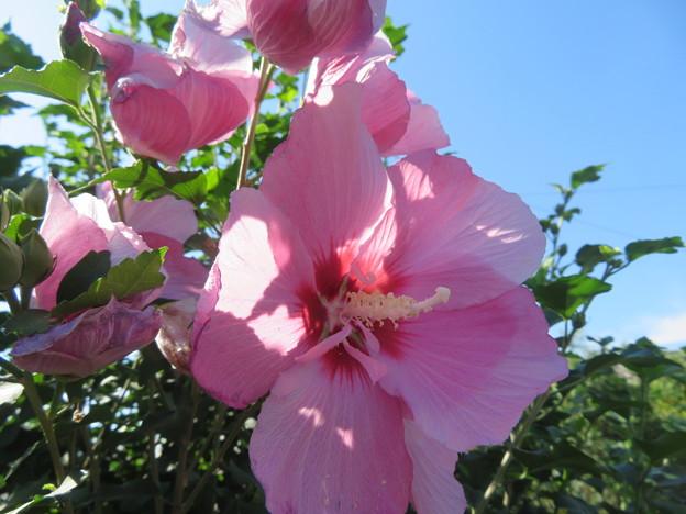 ピンク色のムクゲ