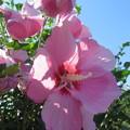 Photos: ピンク色のムクゲ