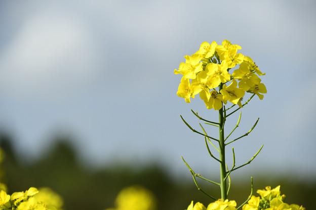 矢巾町菜の花畑210509 (4)