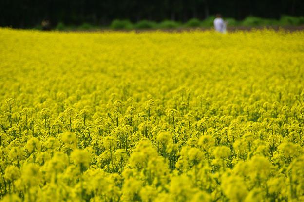 矢巾町菜の花畑210509 (5)