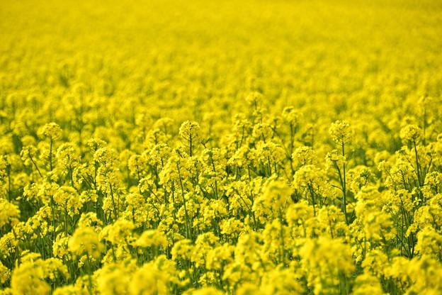 矢巾町菜の花畑210509 (6)