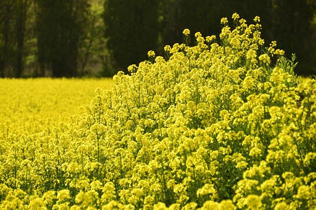 矢巾町菜の花畑210509 (7)