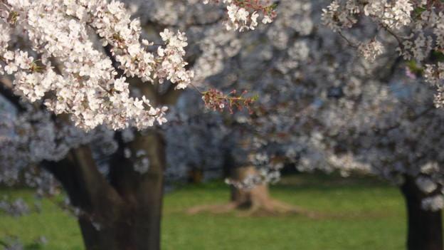 舎人公園の桜