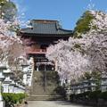 忍野八海、東圓寺の桜