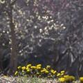 福寿草の背伸び