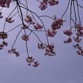 八重咲のボリューム