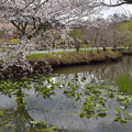 マメザクラ咲く池