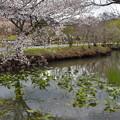 Photos: マメザクラ咲く池