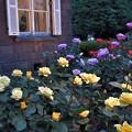 Photos: 夕方のバラたち